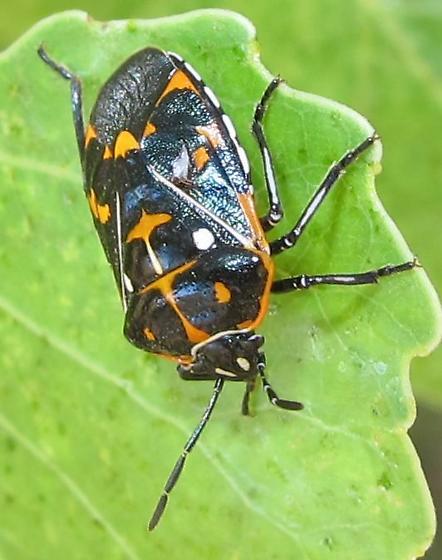 Bug - Heteroptera - Murgantia histrionica