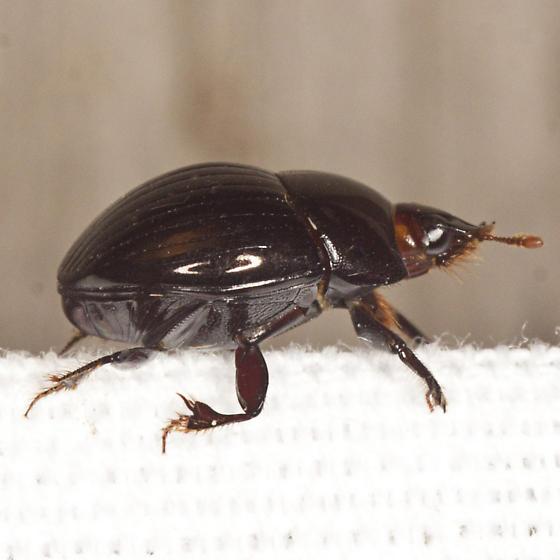 Beetle - Ateuchus
