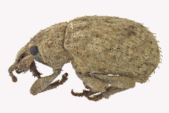 Weevil beetle - Romualdius scaber