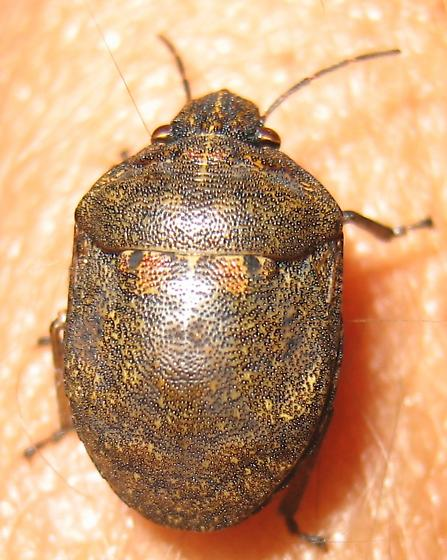 Downeast Scutellerid - Tetyra bipunctata