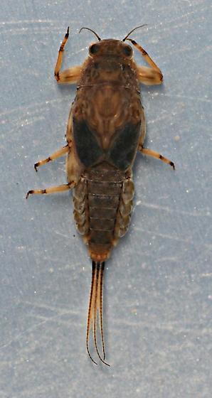 Ephemerella maculata - voucher specimen, in alcohol - Ephemerella maculata - female