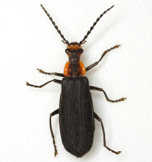 Podabrus rugulosus LeConte - Podabrus rugosulus