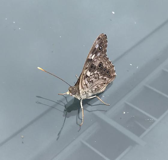 interesting brown moth? - Asterocampa celtis