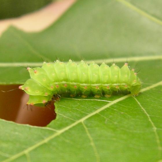 Third-instar larva - Actias luna