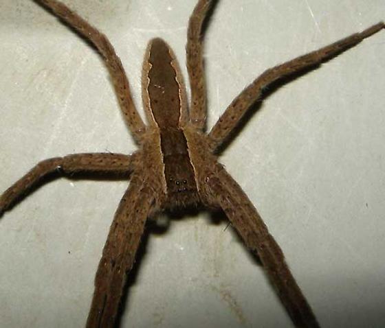 Wolf Spider or Dolomedes striatus - Pisaurina mira - male