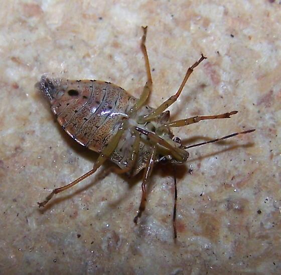 Podisus maculiventris Ventral View - Podisus maculiventris - female