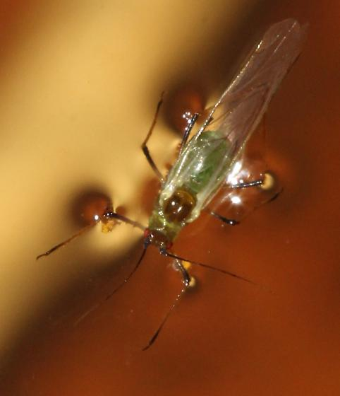 Drowning Aphid