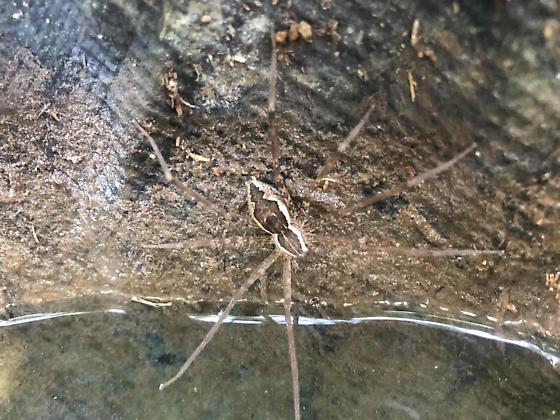 Pond spider - Tinus peregrinus