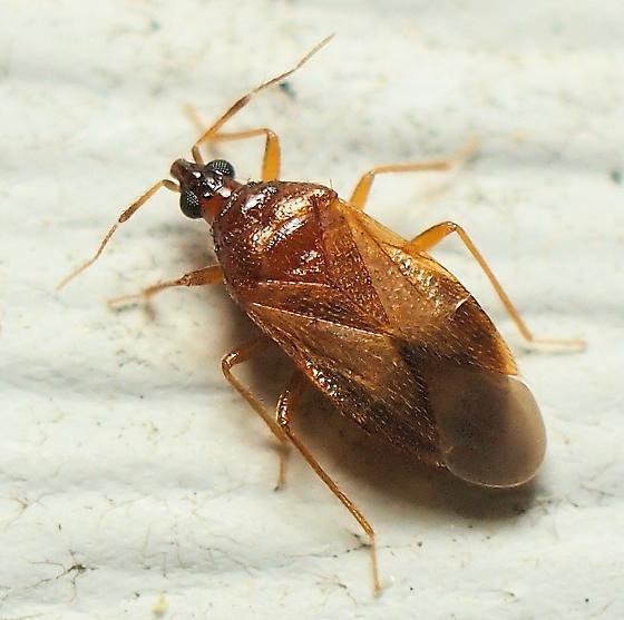 Minute Pirate Bug? - Amphiareus obscuriceps