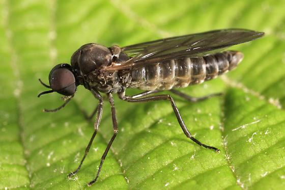 fly - Axymyia furcata - male