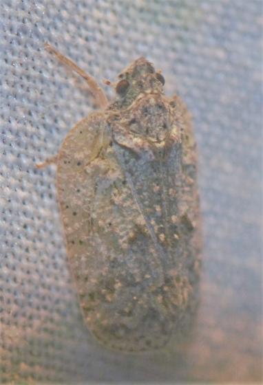 Flatoidinus punctatus