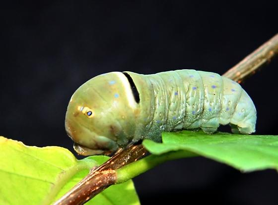 Western Tiger Swallowtail caterpillar - Papilio rutulus