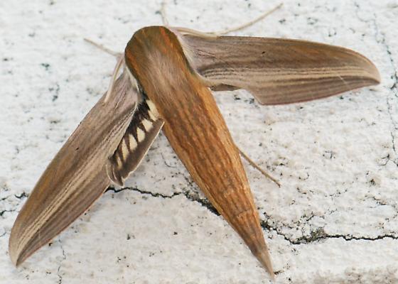 Tersa Spinx Moth? - Xylophanes tersa