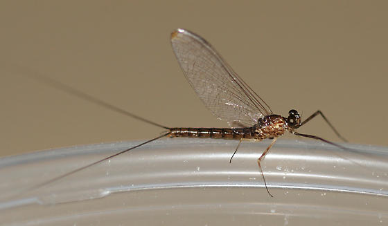 small mayfly - Rhithrogena