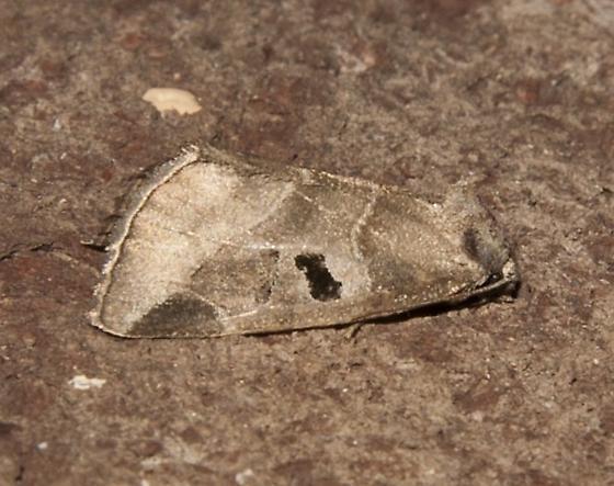moth_21 - Plagiomimicus pityochromus