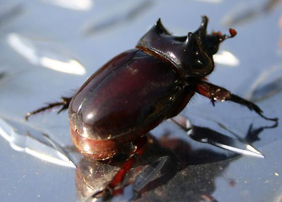 Rino Beetle - Strategus antaeus
