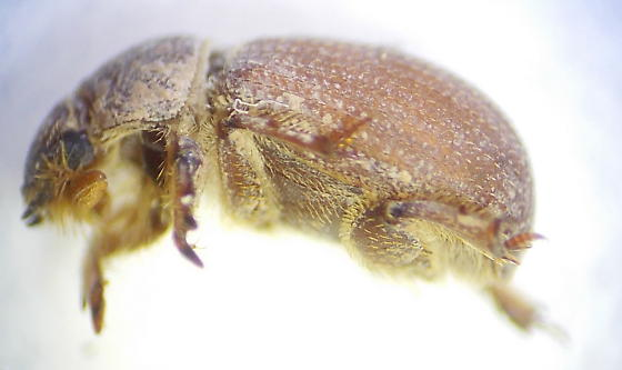 Beetle - Glaresis