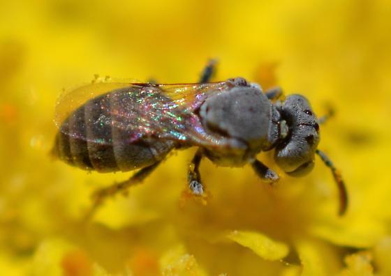 tiny gray bee, Neolarra ? - Neolarra
