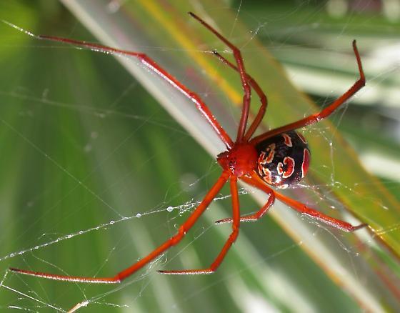 Red Widow - Latrodectus bishopi - female