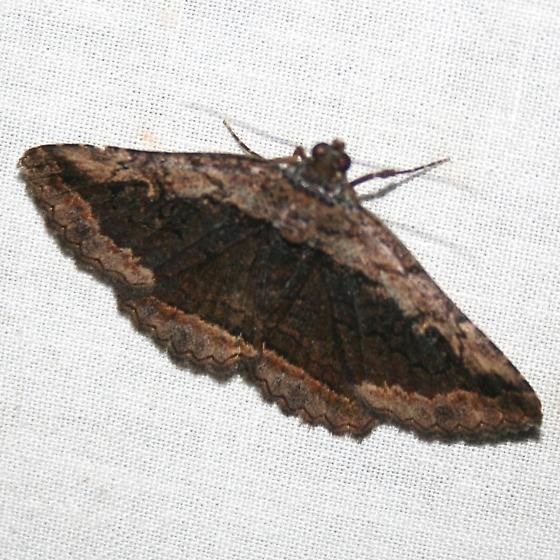 Zaleops paresa - Zaleops umbrina