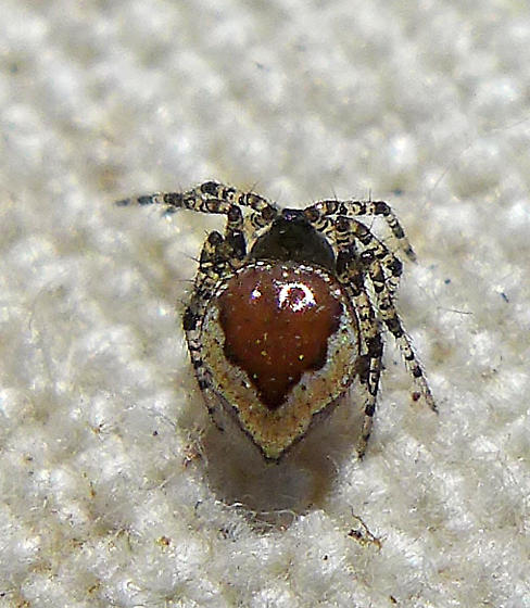 E. formosa immature - Euryopis formosa