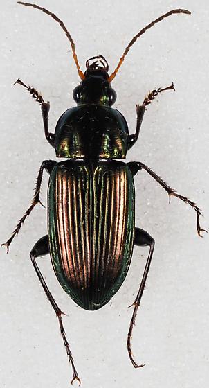 Poecilus species - Poecilus chalcites