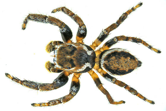 jumping spider - Evarcha hoyi - male