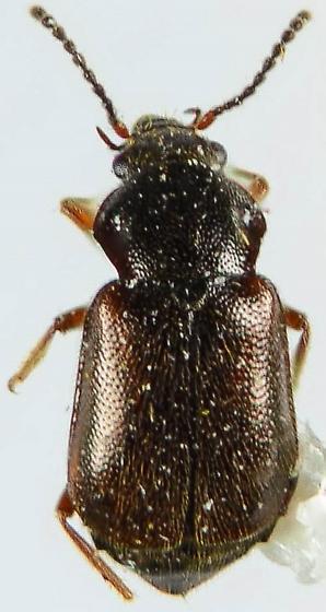 Staphylinid? - Phlaeopterus lagrandeuri