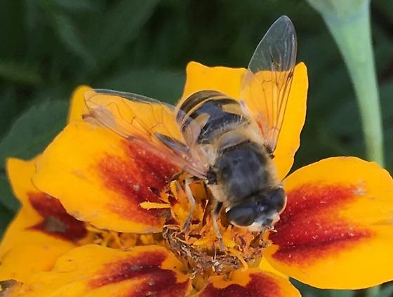 syrphid fly - Eristalis tenax