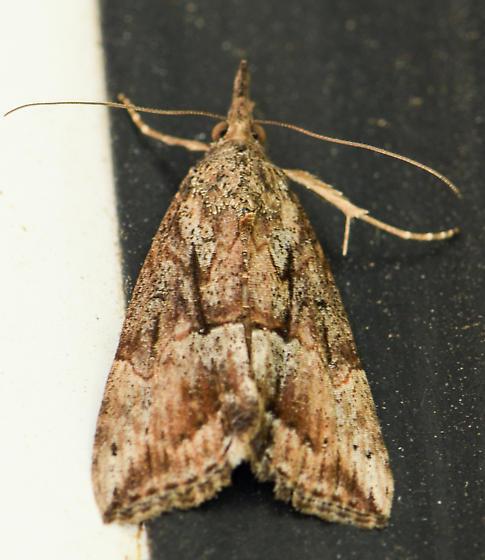 moth120516 - Hypena scabra