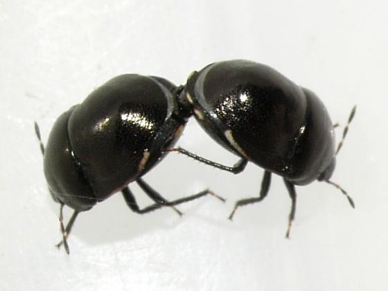 bugs - Corimelaena - male - female
