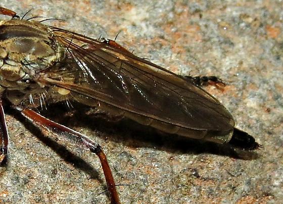 Robber fly 1 - Philonicus plebeius