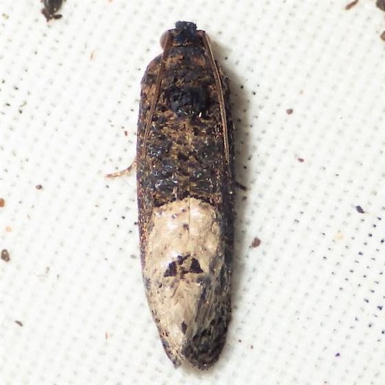Ecdytolopha insiticiana