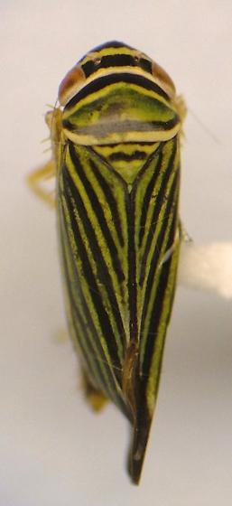 Hopper - Tylozygus bifidus
