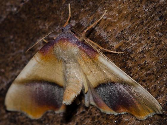purple plagodis - Plagodis kuetzingi