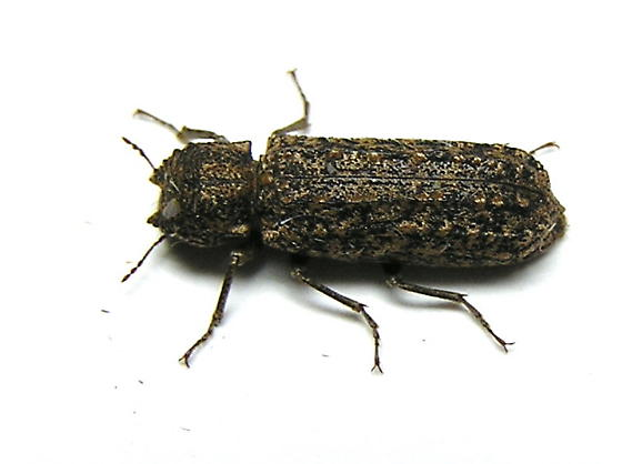 Unknown Beetle - Lichenophanes bicornis