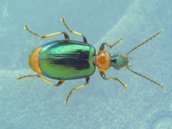 red & green carabid - Lebia viridipennis
