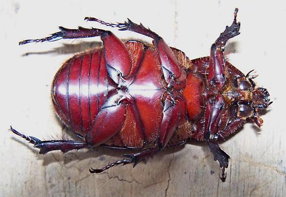 Unknown Scarab Beetle - Strategus aloeus