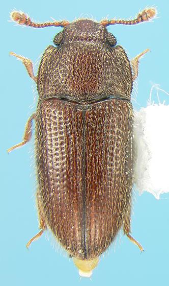 Biphyllid - Diplocoelus rudis