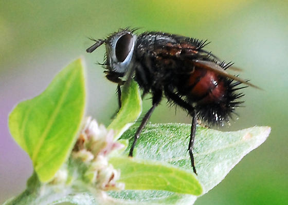 Tachinid with a lot of character - Leschenaultia