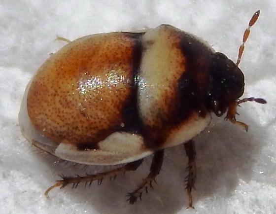 Scutelleridae? - Cydnoides albipennis