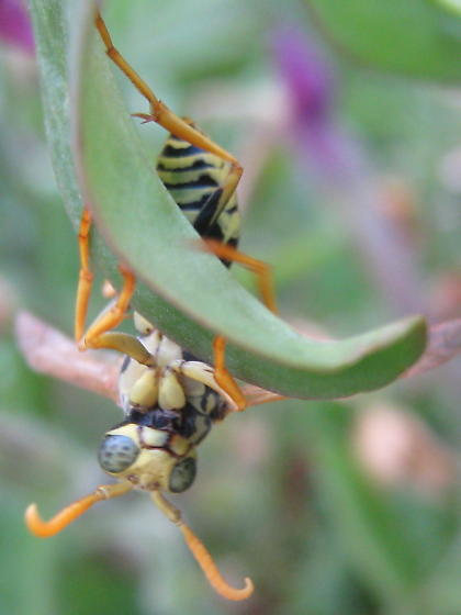 Paper wasp? hiding on snapdragon - Polistes dominula - male
