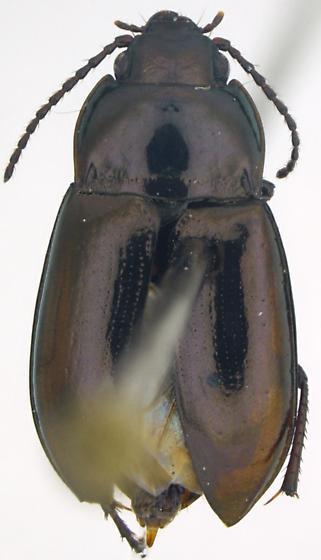 Trachypachus gibbsii - male