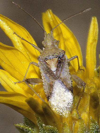 Harmostes sp (possibly H. fraterculus)` - Harmostes angustatus