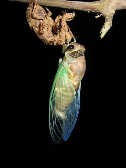Tibicen lyricen - Neotibicen lyricen - male