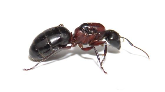Camponotus - Camponotus novaeboracensis