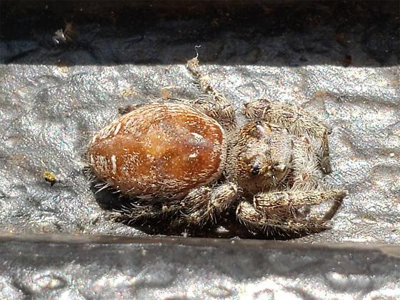 Salticidae - Phidippus putnami