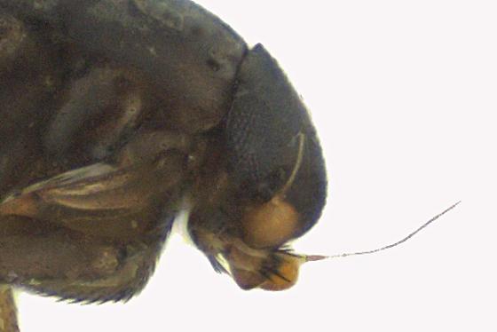 Scuttle Fly - Aenigmatias - female