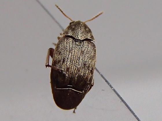 Weevil - Bruchidius terrenus