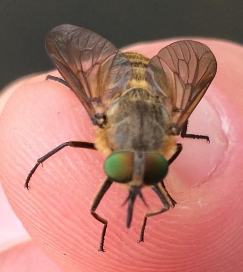 Possible Deer Fly - Stonemyia tranquilla - female